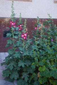 Hollyhocks at Hotel